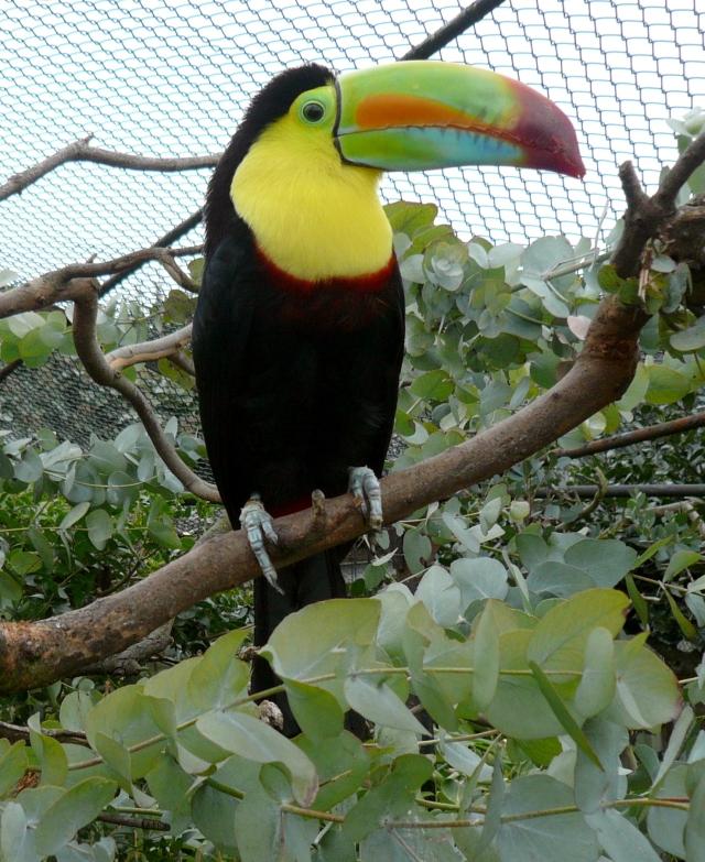 Ramphastos_sulfuratus_-London_Zoo-4c